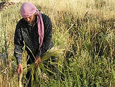 Modern-day harvesting of wild barley in southern Syria