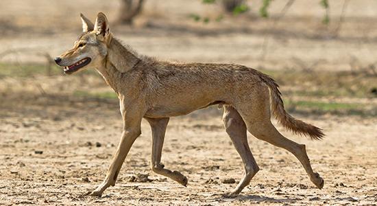 11.500 år gamle dyreknogler tyder på, at hunde hjalp mennesker med at jage