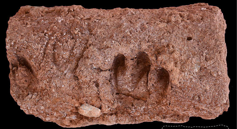 Mudbrick with hoof-prints from goats herded at Ganj Dareh with inset showing the position of impressions. Credit: Tracking Cultural and Environmental Change Project.